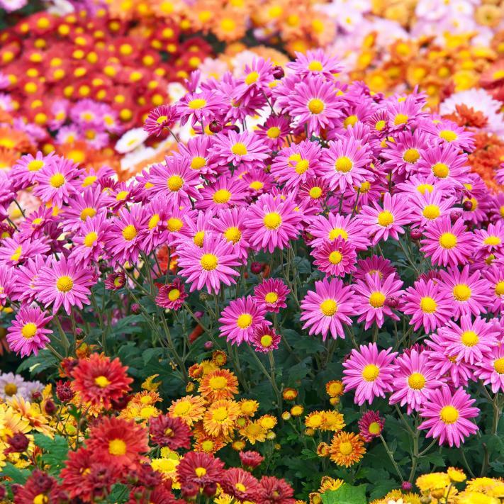 N°31 Chrysanthèmes